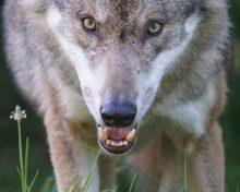 Diferència entre predador i depredador